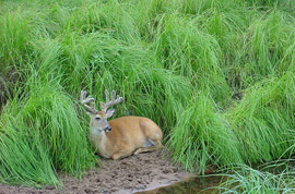 Deer in velvet along the shore
